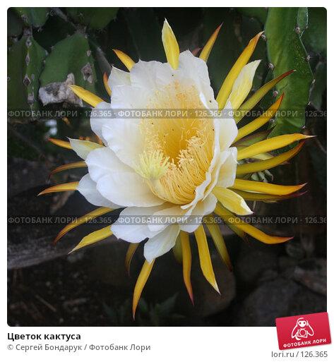 Купить «Цветок кактуса», фото № 126365, снято 1 февраля 2007 г. (c) Сергей Бондарук / Фотобанк Лори