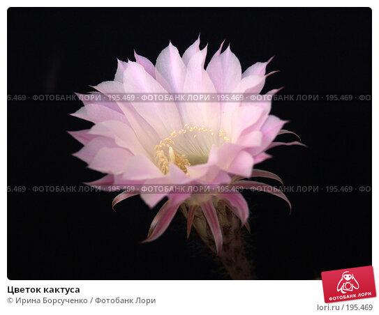 Цветок кактуса, фото № 195469, снято 16 сентября 2006 г. (c) Ирина Борсученко / Фотобанк Лори