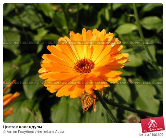 Цветок календулы, фото № 106609, снято 26 октября 2016 г. (c) Антон Голубков / Фотобанк Лори