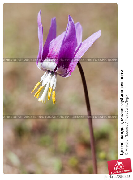 Цветок кандык, малая глубина резкости, фото № 284445, снято 8 мая 2008 г. (c) Михаил Павлов / Фотобанк Лори