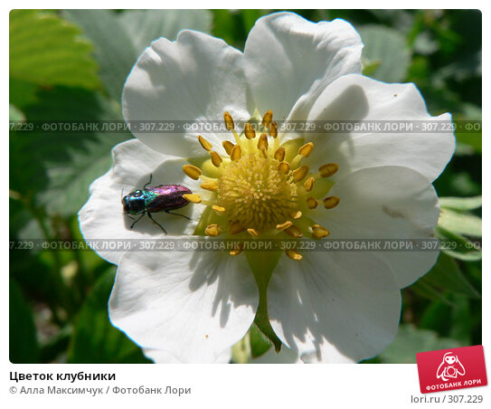 Цветок клубники, фото № 307229, снято 9 мая 2008 г. (c) Алла Максимчук / Фотобанк Лори