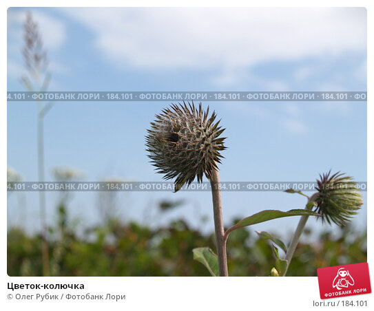 Цветок-колючка, фото № 184101, снято 15 августа 2007 г. (c) Олег Рубик / Фотобанк Лори