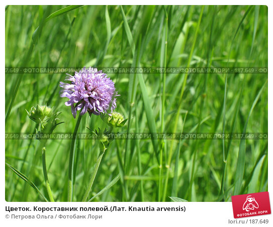 Цветок. Короставник полевой.(Лат. Knautia arvensis), фото № 187649, снято 7 июня 2007 г. (c) Петрова Ольга / Фотобанк Лори