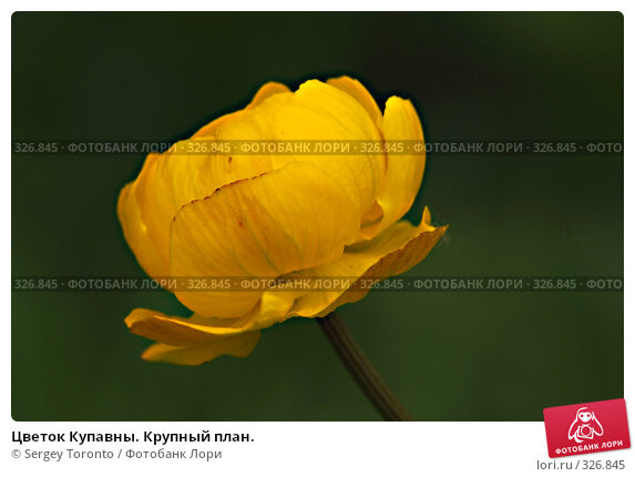 Цветок Купавны. Крупный план., фото № 326845, снято 1 июня 2008 г. (c) Sergey Toronto / Фотобанк Лори