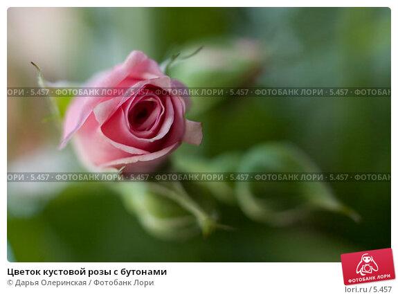 Цветок кустовой розы с бутонами, фото № 5457, снято 23 марта 2006 г. (c) Дарья Олеринская / Фотобанк Лори