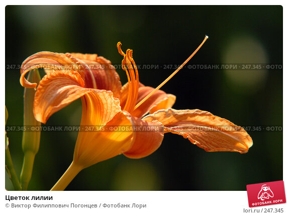 Цветок лилии, фото № 247345, снято 25 июня 2006 г. (c) Виктор Филиппович Погонцев / Фотобанк Лори