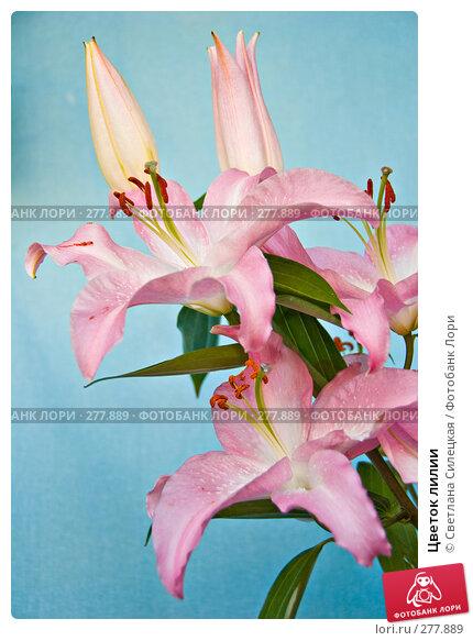 Цветок лилии, фото № 277889, снято 9 мая 2008 г. (c) Светлана Силецкая / Фотобанк Лори