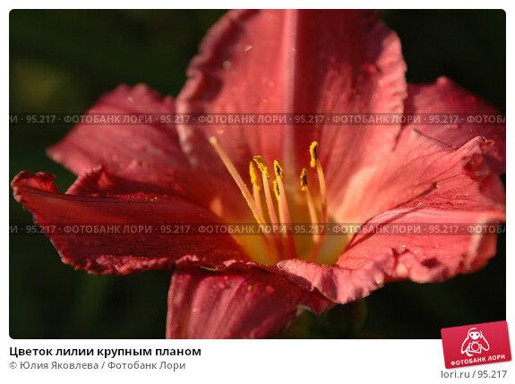 Купить «Цветок лилии крупным планом», фото № 95217, снято 24 августа 2006 г. (c) Юлия Яковлева / Фотобанк Лори