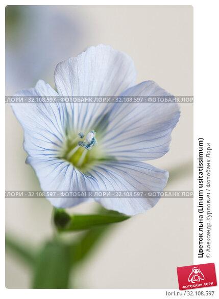 Купить «Цветок льна (Linum usitatissimum)», фото № 32108597, снято 24 августа 2019 г. (c) Александр Курлович / Фотобанк Лори