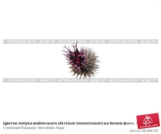 Цветок лопуха войлочного (Arctium tomentosum) на белом фоне. Burdock flower (Arctium tomentosum) on a on a white background. Стоковое фото, фотограф Евгений Романов / Фотобанк Лори
