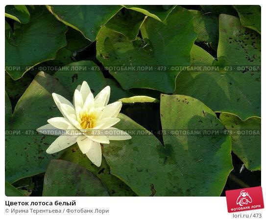 Цветок лотоса белый, фото № 473, снято 21 августа 2004 г. (c) Ирина Терентьева / Фотобанк Лори