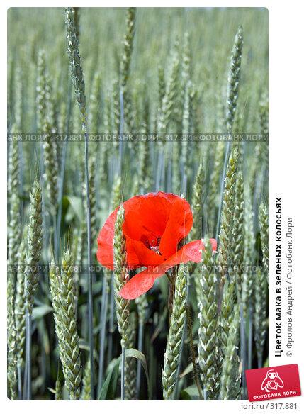 Купить «Цветок мака в зеленых колосьях», фото № 317881, снято 26 мая 2008 г. (c) Фролов Андрей / Фотобанк Лори