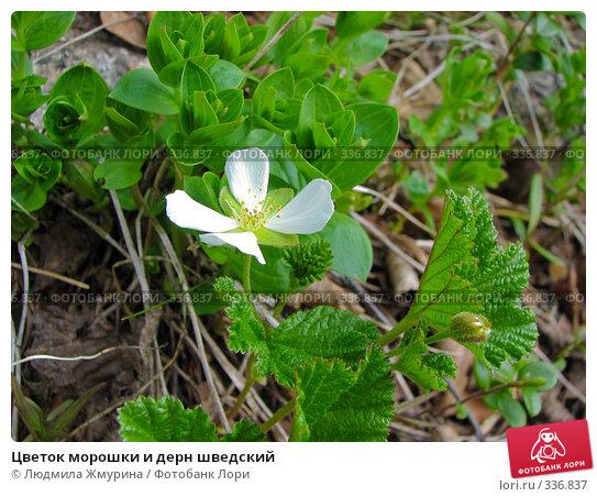Цветок морошки и дерн шведский, фото № 336837, снято 19 июня 2008 г. (c) Людмила Жмурина / Фотобанк Лори