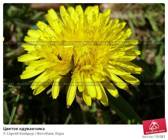 Цветок одуванчика, фото № 19081, снято 14 мая 2006 г. (c) Сергей Ксейдор / Фотобанк Лори