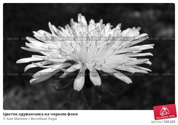 Цветок одуванчика на черном фоне, фото № 308685, снято 3 июня 2008 г. (c) Василий Каргандюм / Фотобанк Лори