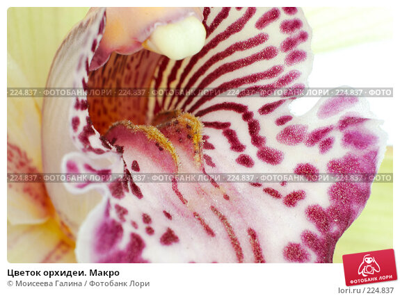 Цветок орхидеи. Макро, фото № 224837, снято 13 февраля 2008 г. (c) Моисеева Галина / Фотобанк Лори