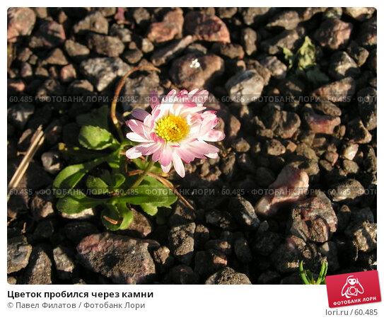Купить «Цветок пробился через камни», фото № 60485, снято 23 июня 2007 г. (c) Павел Филатов / Фотобанк Лори