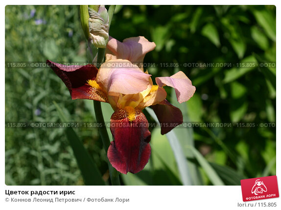 Купить «Цветок радости ирис», фото № 115805, снято 31 мая 2007 г. (c) Коннов Леонид Петрович / Фотобанк Лори