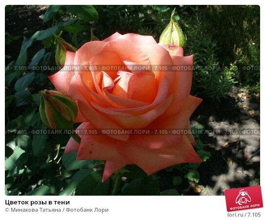 Цветок розы в тени, фото № 7105, снято 8 июля 2006 г. (c) Минакова Татьяна / Фотобанк Лори