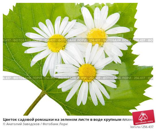 Цветок садовой ромашки на зеленом листе в воде крупным планом, фото № 256437, снято 23 июля 2006 г. (c) Анатолий Заводсков / Фотобанк Лори