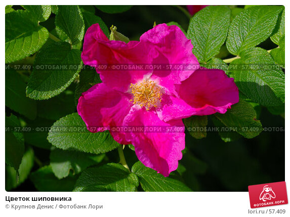 Цветок шиповника, фото № 57409, снято 30 мая 2007 г. (c) Крупнов Денис / Фотобанк Лори