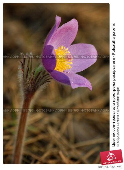 Цветок сон-травы или прострела раскрытого - Pulsatilla patens, фото № 186793, снято 30 апреля 2006 г. (c) Абрамова Ксения / Фотобанк Лори