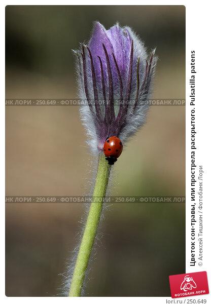Цветок сон-травы, или прострела раскрытого. Pulsatilla patens, фото № 250649, снято 12 апреля 2008 г. (c) Алексей Тишкин / Фотобанк Лори