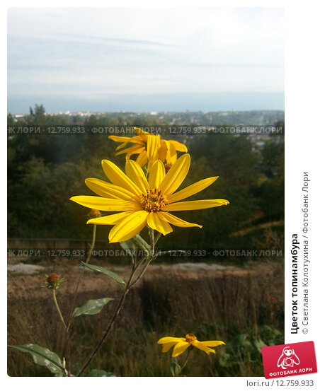 Цветок топинамбура. Стоковое фото, фотограф Светлана Колотухина / Фотобанк Лори
