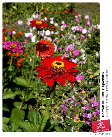 Цветок Циннии и бражник, фото № 312985, снято 10 августа 2007 г. (c) Sergey Toronto / Фотобанк Лори