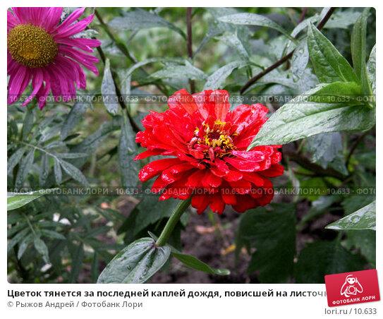 Цветок тянется за последней каплей дождя, повисшей на листочке, фото № 10633, снято 23 августа 2006 г. (c) Рыжов Андрей / Фотобанк Лори