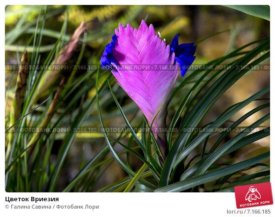 Купить «Цветок Вриезия», фото № 7166185, снято 26 января 2015 г. (c) Галина Савина / Фотобанк Лори