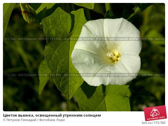 Цветок вьюнка, освещенный утренним солнцем, фото № 173765, снято 15 июля 2007 г. (c) Петухов Геннадий / Фотобанк Лори
