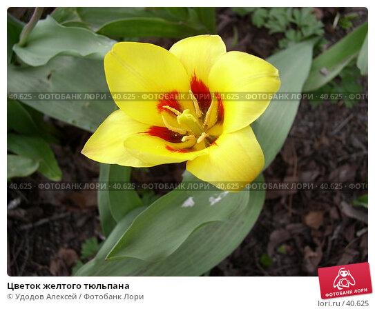 Цветок желтого тюльпана, фото № 40625, снято 18 апреля 2007 г. (c) Удодов Алексей / Фотобанк Лори
