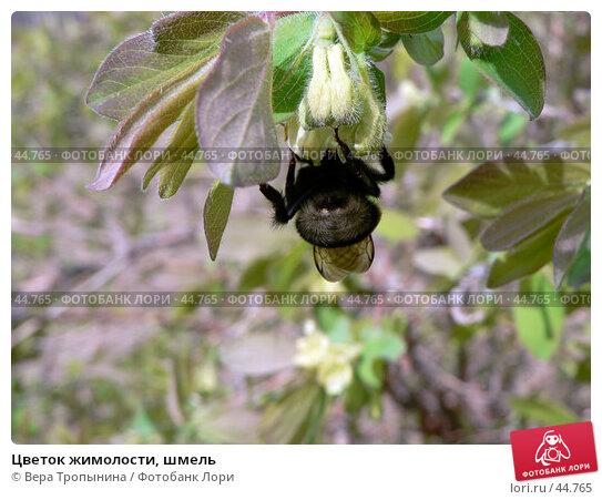 Цветок жимолости, шмель, фото № 44765, снято 1 мая 2007 г. (c) Вера Тропынина / Фотобанк Лори