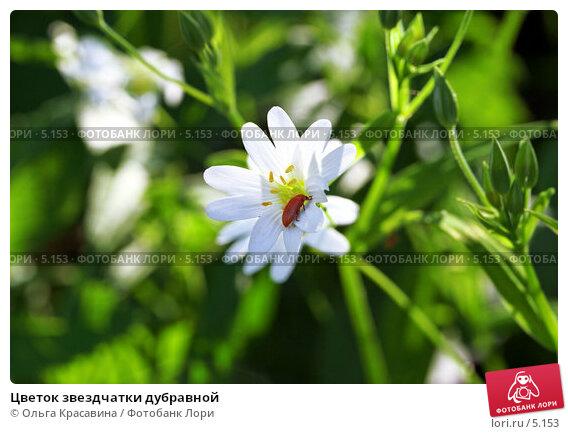Цветок звездчатки дубравной, фото № 5153, снято 23 мая 2006 г. (c) Ольга Красавина / Фотобанк Лори