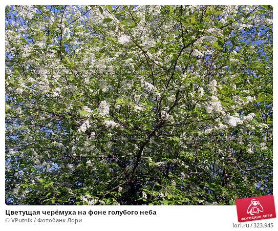 Купить «Цветущая черёмуха на фоне голубого неба», фото № 323945, снято 21 апреля 2018 г. (c) VPutnik / Фотобанк Лори
