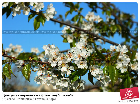 Цветущая черешня на фоне голубого неба, фото № 256517, снято 19 апреля 2008 г. (c) Сергей Литвиненко / Фотобанк Лори