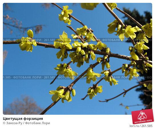 Цветущая форзиция, фото № 261585, снято 12 апреля 2008 г. (c) Заноза-Ру / Фотобанк Лори