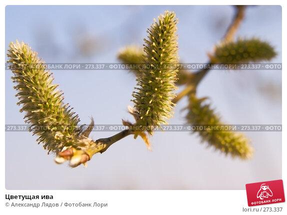 Купить «Цветущая ива», фото № 273337, снято 3 мая 2008 г. (c) Александр Лядов / Фотобанк Лори