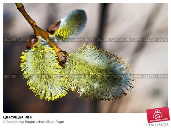 Цветущая ива, фото № 282725, снято 3 мая 2008 г. (c) Александр Лядов / Фотобанк Лори