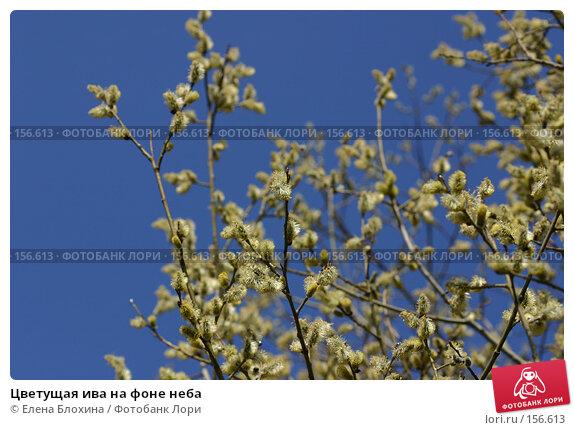 Цветущая ива на фоне неба, фото № 156613, снято 11 апреля 2007 г. (c) Елена Блохина / Фотобанк Лори