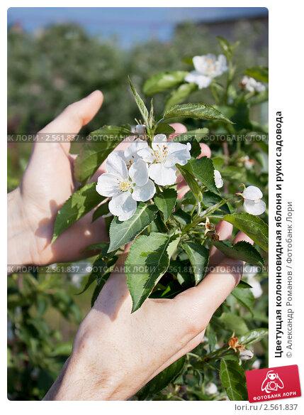 Купить «Цветущая колонновидная яблоня и руки садовода», фото № 2561837, снято 24 мая 2011 г. (c) Александр Романов / Фотобанк Лори