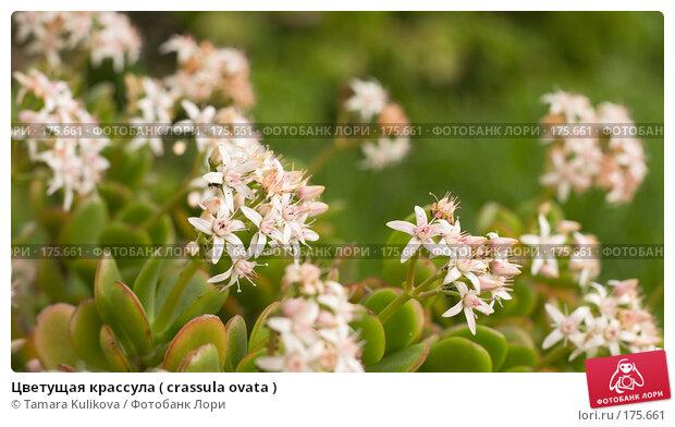 Цветущая крассула ( crassula ovata ), фото № 175661, снято 30 декабря 2007 г. (c) Tamara Kulikova / Фотобанк Лори