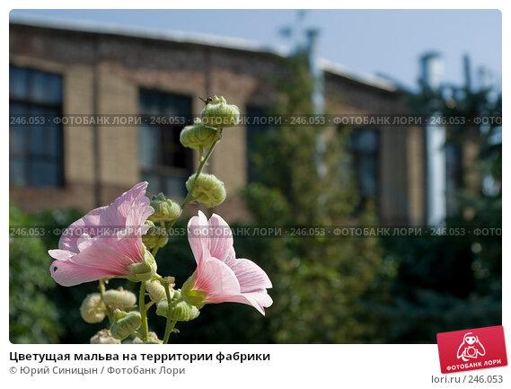 Цветущая мальва на территории фабрики, фото № 246053, снято 16 августа 2007 г. (c) Юрий Синицын / Фотобанк Лори