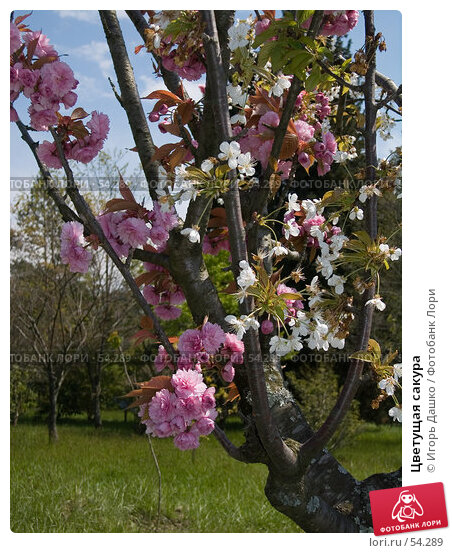 Цветущая сакура, фото № 54289, снято 24 апреля 2007 г. (c) Игорь Дашко / Фотобанк Лори