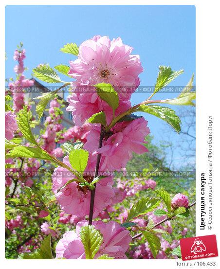 Цветущая сакура, фото № 106433, снято 25 мая 2005 г. (c) Севостьянова Татьяна / Фотобанк Лори