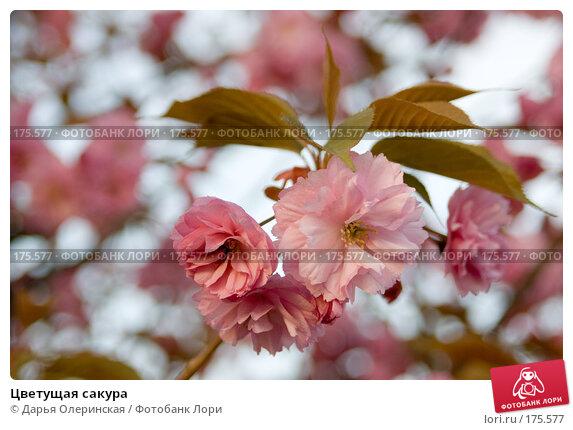 Цветущая сакура, фото № 175577, снято 14 апреля 2007 г. (c) Дарья Олеринская / Фотобанк Лори