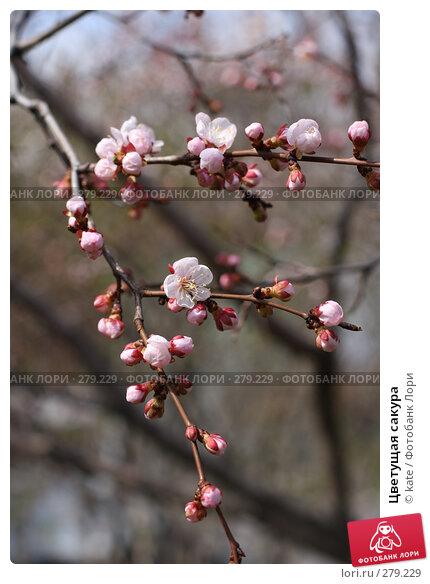 Цветущая сакура, фото № 279229, снято 5 мая 2008 г. (c) Екатерина Цуканова / Фотобанк Лори