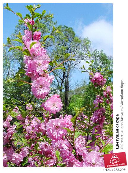 Купить «Цветущая сакура», фото № 288293, снято 9 мая 2008 г. (c) Севостьянова Татьяна / Фотобанк Лори