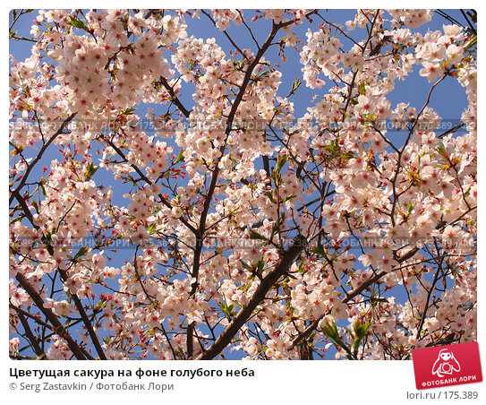 Купить «Цветущая сакура на фоне голубого неба», фото № 175389, снято 5 апреля 2007 г. (c) Serg Zastavkin / Фотобанк Лори